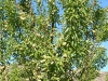 Almond Crop