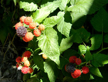 smallerblackberries